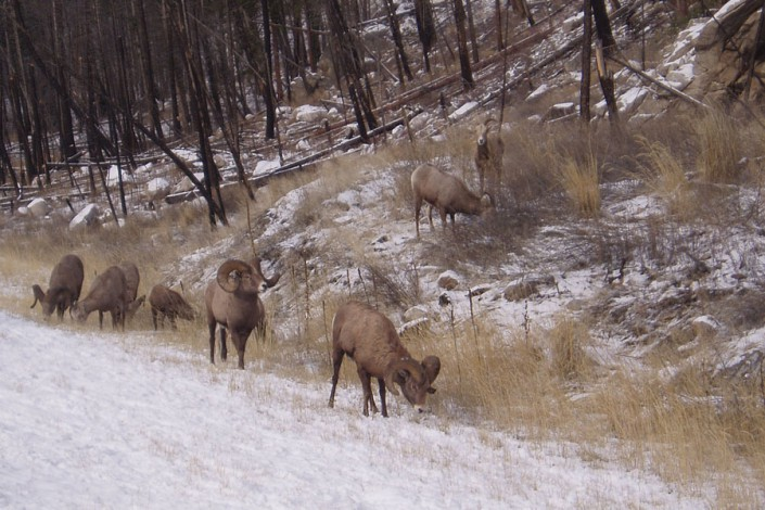 big horn sheep in the winter