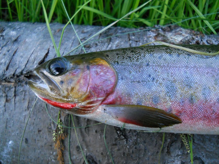 close up of a cutthroat trout