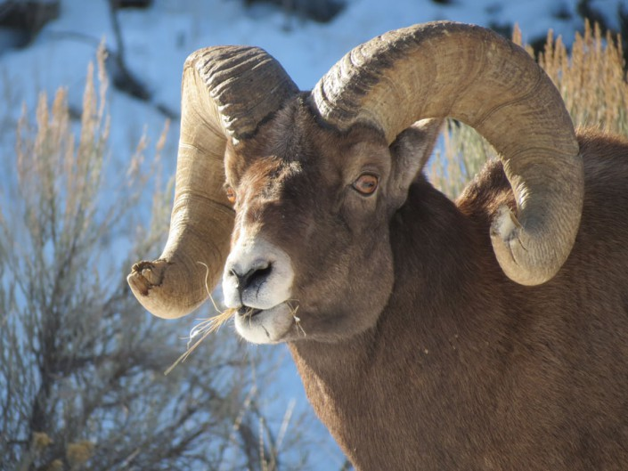 a big horn sheep ram eating