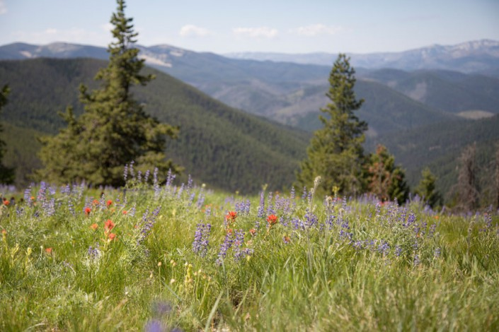 lupine and indian paintbrush wildflowers in the bitterroot selway wilderness