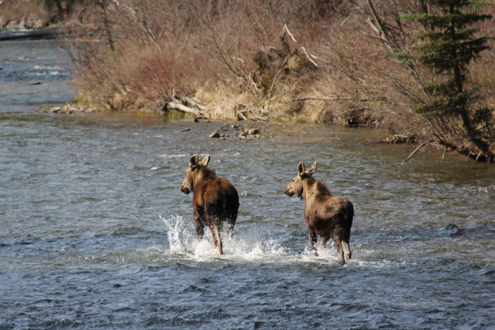two moose running in a river