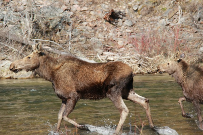 moose and calf crossing a river